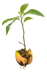 Avocado_Seedling
