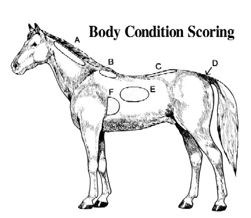 Equine Body Condition Score Tack N Talk