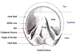 The external structures of the hoof