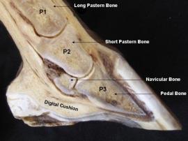 Internal Hoof Structure