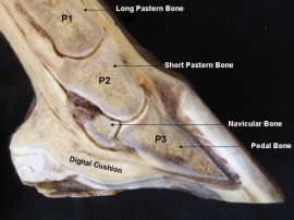Internal Hoof Structure
